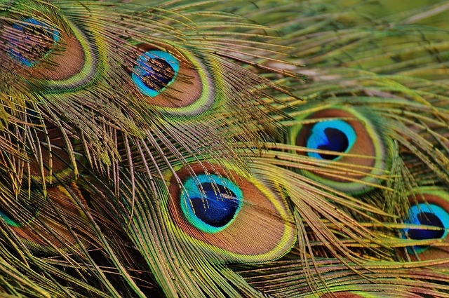 peacock_feathers_1312509_640.jpg